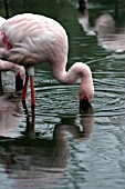 PHOENICONAIAS MINOR,  LESSER FLAMINGO