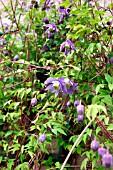 garden world images search clematis alpina. Black Bedroom Furniture Sets. Home Design Ideas