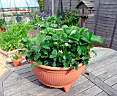 STRAWBERRY PLANTS,  A IN POT,  IN FLOWER