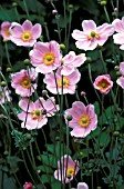 ANEMONE HYBRIDA, JAPONICA, MAX VOGEL,  PINK, FLOWER, WHOLE, PLANT, LATE SUMMER, AUTUMN