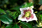 HELLEBORUS ORIENTALIS (HARVINGTON SPECKLED)