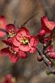 CHAENOMELES (FLOWERING QUINCE)