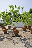 FICUS. FIGS IN CONTAINERS