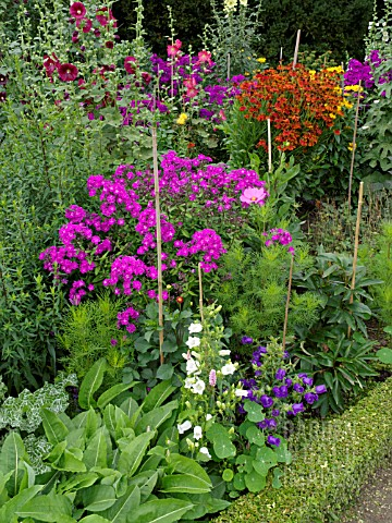 CAMPANULA_PHLOX_HELENIUM_AND_ALCEA_IN_MIXED_BORDER