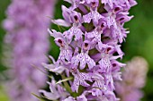 DACTYLORHIZA MACULATA  SPOTTED MEADOW ORCHID
