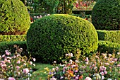 TAXUS BACCATA WITH SPHERICAL SHAPE IN A ROSE GARDEN  BRITZER GARTEN  BERLIN  GERMANY