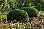 TAXUS BACCATA  COMMON YEW  WITH SPHERICAL SHAPE IN A ROSE GARDEN  BRITZER GARTEN  BERLIN  GERMANY