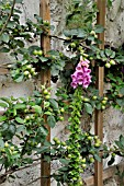 DIGITALIS PURPUREA  COMMON FOXGLOVE  MALUS X DOMESTICA GOLDPARMAENE  APPLE  ON A TRELLIS. DESIGN: JUTTA WAHREN