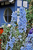 DELPHINIUM ELATUM  IN FRONT OF A HOUSE ENTRANCE. DESIGN: JUTTA WAHREN