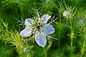 NIGELLA DAMASCENA  LOVE-IN-A-MIST