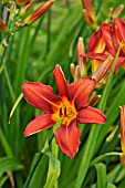 HEMEROCALLIS SUMMER INTERLUDE