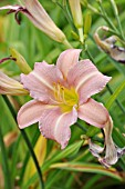 HEMEROCALLIS LAVENDER FLIGHT