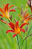 HEMEROCALLIS AUTUMNALE RED