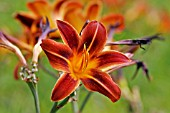 HEMEROCALLIS DARK  EARLY