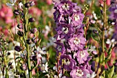 DELPHINIUM X CULTORUM MAGIC FOUNTAINS LILAC PINK