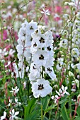 DELPHINIUM X CULTORUM MAGIC FOUNTAINS WHITE