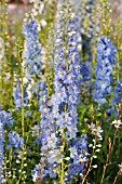 DELPHINIUM X CULTORUM MAGIC FOUNTAINS SKY BLUE