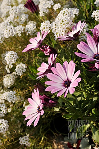 OSTEOSPERMUM_ECKLONIS_JAMBOANA_LIGHT_PURPLE_LOBULARIA_MARITIMA_SNOW_PRINCESS