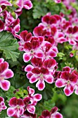 PELARGONIUM CRISPUM ANGELEYES BURGUNDY, LEMON SCENTED PELARGONIUM