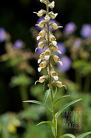 DIGITALIS_LANATA