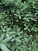 ABIES PINSAPO GLAUCA, SPANISH FIR