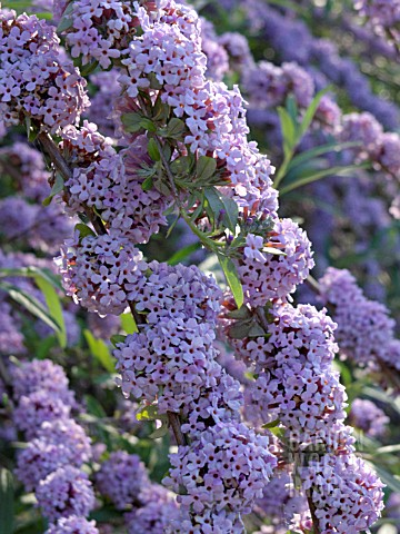 BUDDLEJA_ALTERNIFOLIA_FOUNTAIN_BUDDLEIA