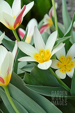 TULIPA_THE_FIRST