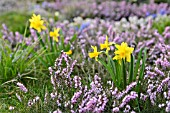 NARCISSUS AND ERICA CARNEA