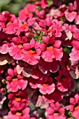 NEMESIA ANGELART FRUIT PUNCH
