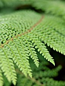 POLYSTICHUM SETIFERUM PROLIFERUM WOLLASTONII, SOFT SHIELD FERN