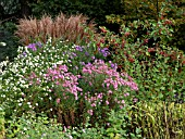 ASTER IN MIXED AUTUMN BORDER