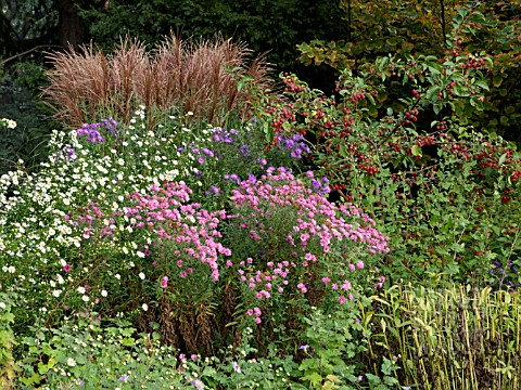 ASTER_IN_MIXED_AUTUMN_BORDER