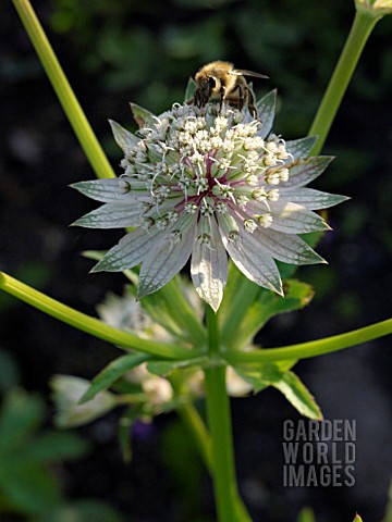 ASTRANTIA_MAJOR