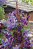 MIXED SWEETPEAS (LATHYRUS)CLIMBING ON WIGWAM