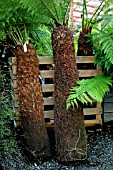 TREE FERNS FOR SALE IN A GARDEN CENTRE