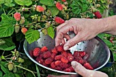 PICKING LOGANBERRIES