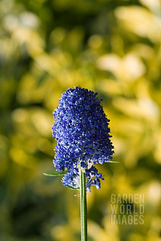 CEANOTHUS__THYRSIFLORUS_SKYLARK__AN_EVERGREEN_SHRUB_WITH_CLUSTERS_OF_DARK_BLUE_FLOWERS_IN_SPRING_AND