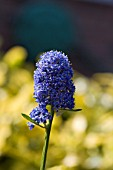 CEANOTHUS,  THYRSIFLORUS SKYLARK,  AN EVERGREEN SHRUB WITH CLUSTERS OF DARK BLUE FLOWERS IN SPRING AND EARLY SUMMER