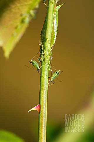 A_THORNY_PROBLEM__GREENFLY_INFESTING_A_ROSE_STEM