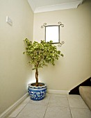 FICUS VARIEGATA,  WEEPING FIG,  IN HALLWAY