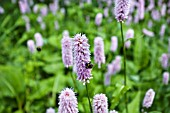 PERSICARIA SUPERBA WITH BEES GATHERING NECTAR
