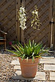 A YUCCA FLACCIDA IN THE RIGHT CONDITIONS WILL FLOWER WITH BRILLIANT WHITE BELL LIKE FLOWERS