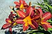 HEMEROCALLIS SP
