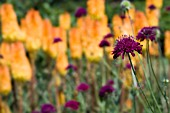 KNAUTIA MACEDONICA IN FRONT OF KNIPHOFIA TRIANGULARIS