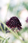 SCABIOSA ATROPURPUREA CHILE BLACK SOMETIMES CALLED THE ACE OF SPADES.  DEEP CLARET PURPLE FLOWER HEADS WITH GREY GREEN LEAVES.
