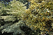 ON THE LEFT IS THE CORNUS CONTROVERSA VARIEGATA,  THE WEDDING CAKE TREE. AND ON THE RIGHT IS THE,  ELAEAGNUS X EBBINGEI GILT EDGE GROWN AS LARGE AS A TREE.