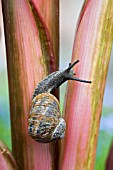 HELIX ASPERSA,  GARDEN SNAIL CLOSE UP CLIMBING A HOSTA