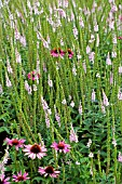 VERONICA PINK DAMASK  WITH ECHINACEA PURPUREA RUBINSTERN
