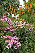 ECHINACEA PURPUREA MAGNUS WITH KNIPHOFIA TRIANGULARIS,  RED HOT POKERS IN THE BACKGROUND