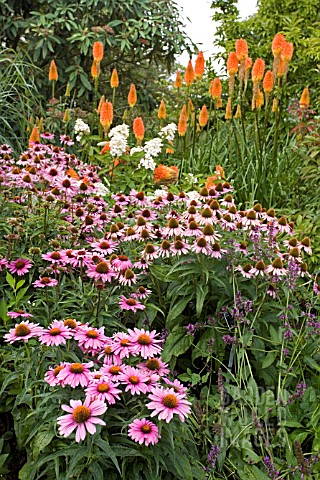 ECHINACEA_PURPUREA_MAGNUS_WITH_KNIPHOFIA_TRIANGULARIS__RED_HOT_POKERS_IN_THE_BACKGROUND